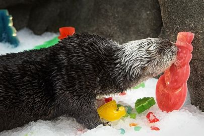 sea-otter-charlie-holiday.jpg