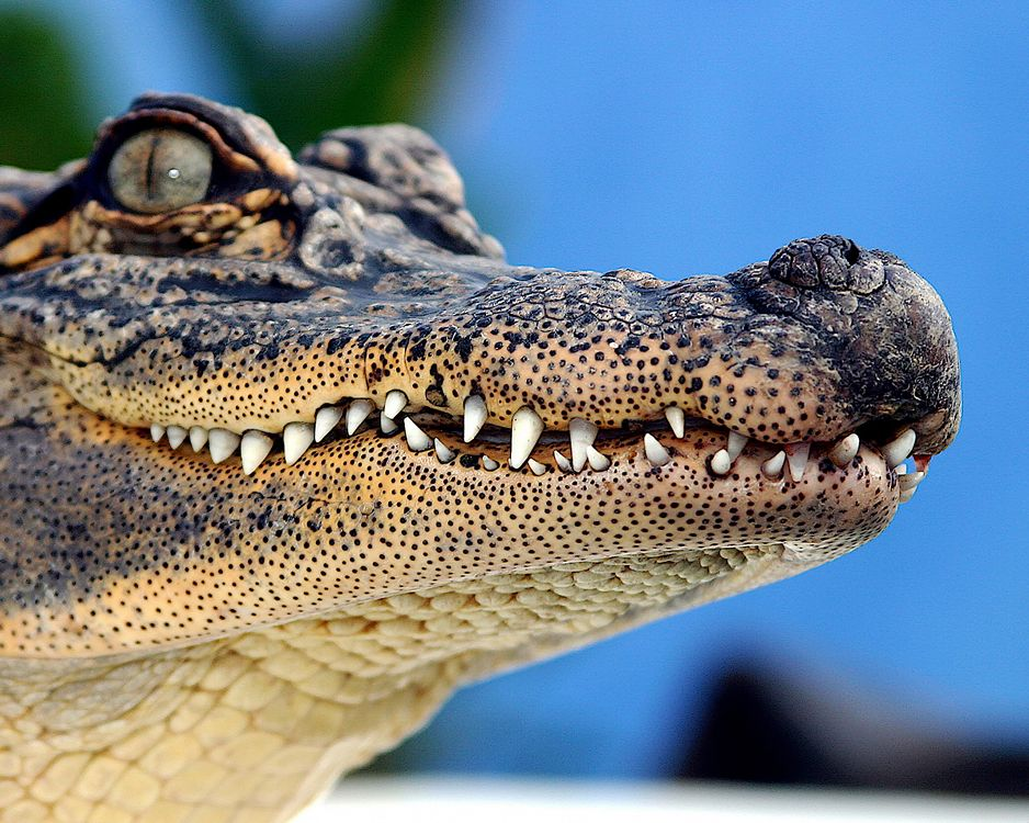 American alligator - lightbox