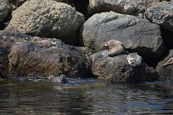 Harbor seals on rocks as seen from Urban Ocean Cruise
