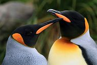 0001_Penguins_KingPenguins900.jpg