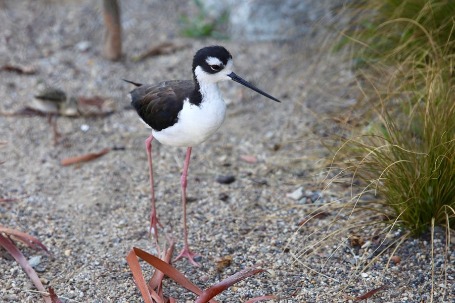 Black-necked Stilt on exhibit - lightbox
