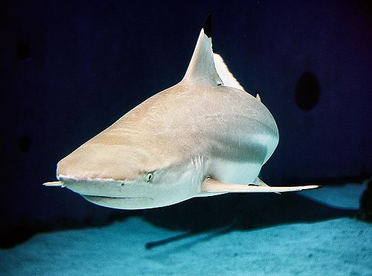 Black Tip Reef Shark swimming at camera - slideshow