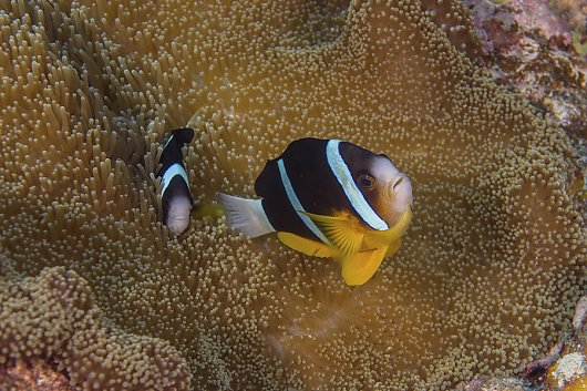 Two clownfish - popup