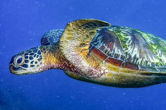 Green Sea Turtle - popup
