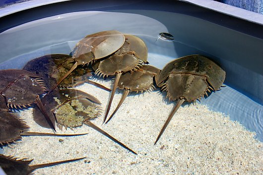 Horseshoe Crab Touch Exhibit
