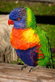 portrait of lorikeet
