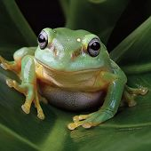 Magnificent Tree Frog - thumbnail
