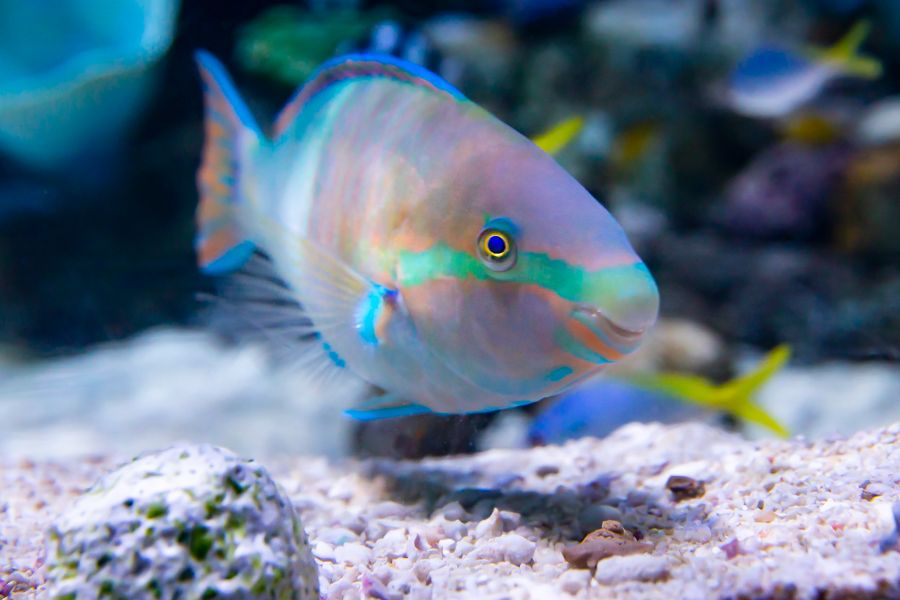 Yellowfin Parrotfish scarus flavipectoralis - lightbox
