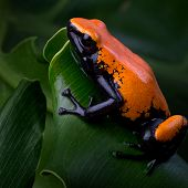 Splashback Poison Dart Frog links to Splashback Poison Dart Frog