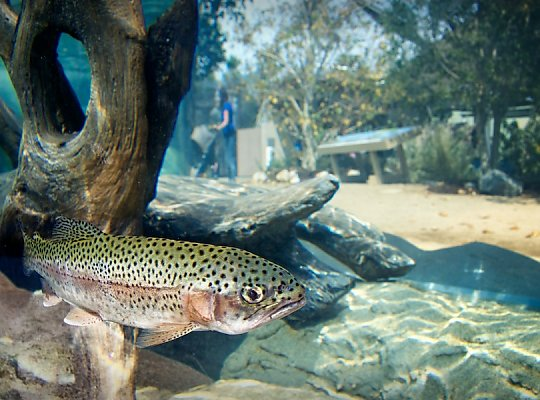 steelhead fish with exhibit in background - slideshow