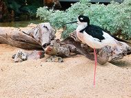 black neck stilt in sand