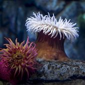 Fish-Eating Anemone - thumbnail