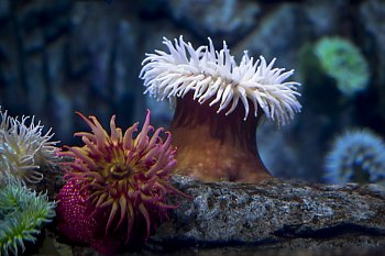 Fish-Eating Anemone - popup