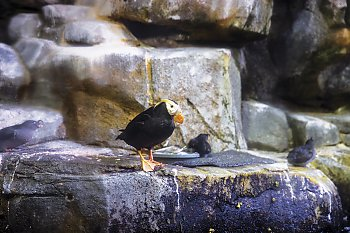 Puffin on Rocks - popup