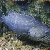 Queensland Grouper - thumbnail
