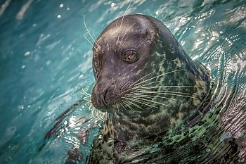 Shelby Harbor Seal - popup
