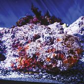 Stonefish links to Reef Stonefish