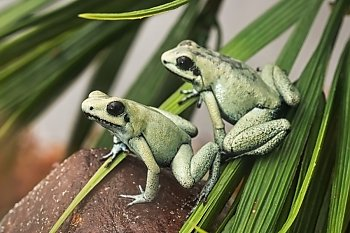 Pair of frogs on rock and leaf - popup