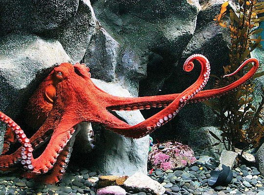 giant pacific octopus - slideshow
