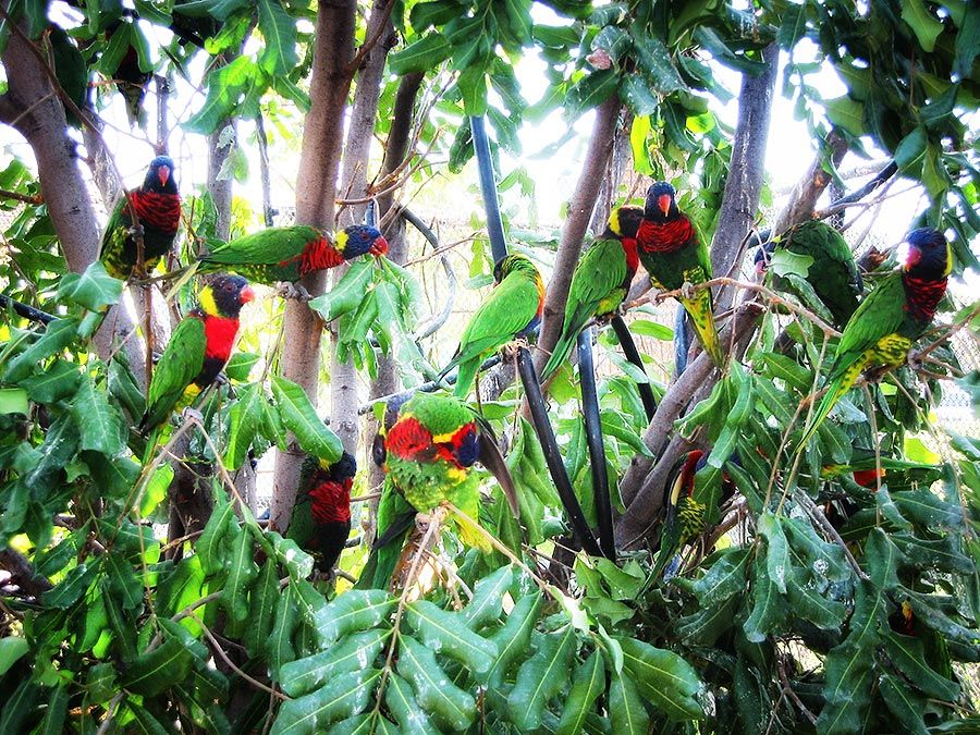 Lorikeets in a tree - lightbox
