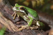 Pacific Tree Frog on a branch