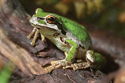 Pacific Tree Frog on a branch - popup