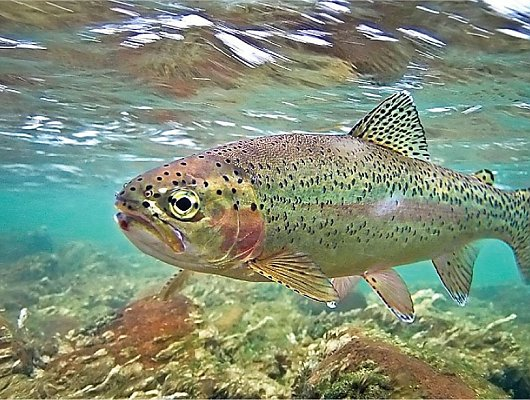 Aquarium of the pacific exhibits southern california for Trout fishing southern california