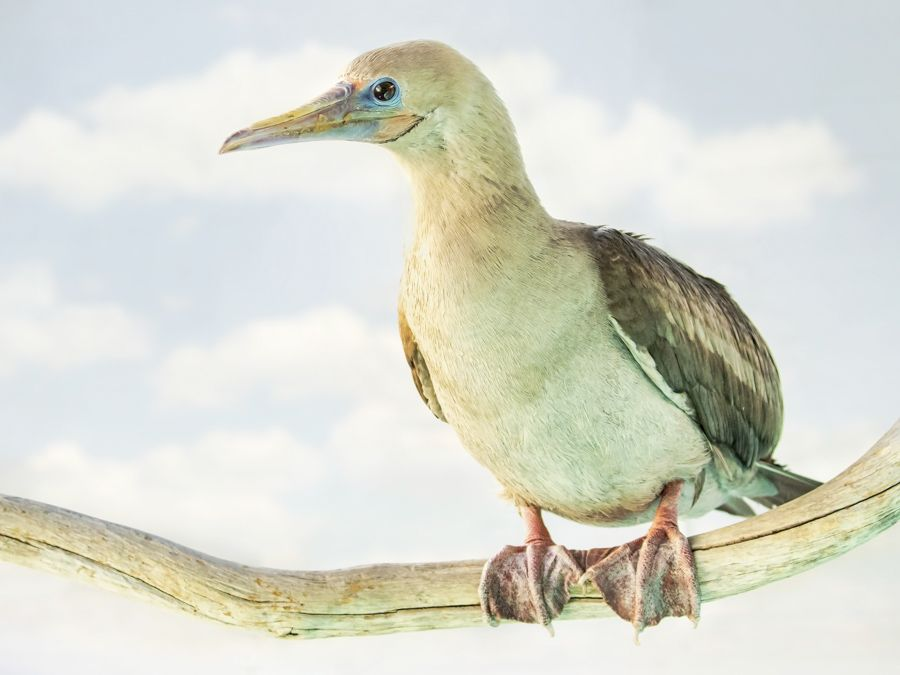 Red Footed Booby - lightbox