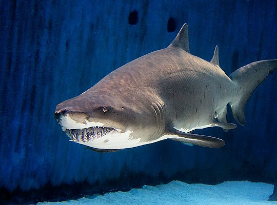 Sand tiger shark - slideshow