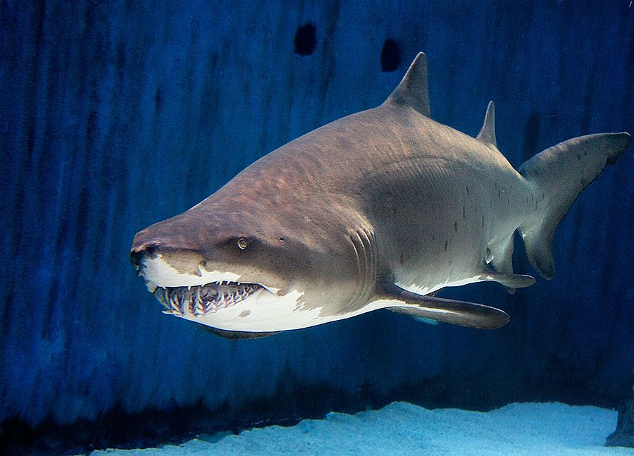 Aquarium of the pacific exhibits shark lagoon for Freshwater shark fish
