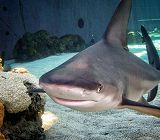 sandbar shark next to rock with coral