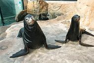 pair of sea lions