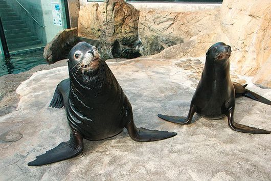 pair of sea lions - popup
