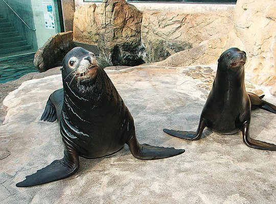 pair of sea lions - slideshow