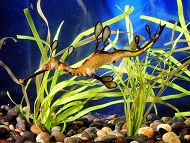 Webcam: Weedy Sea Dragons