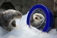 otter looking into mirror