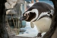 penguin looking into burrow