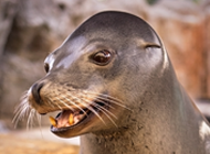 harpo the sea lion closeup