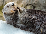 sea otter eating shrimp