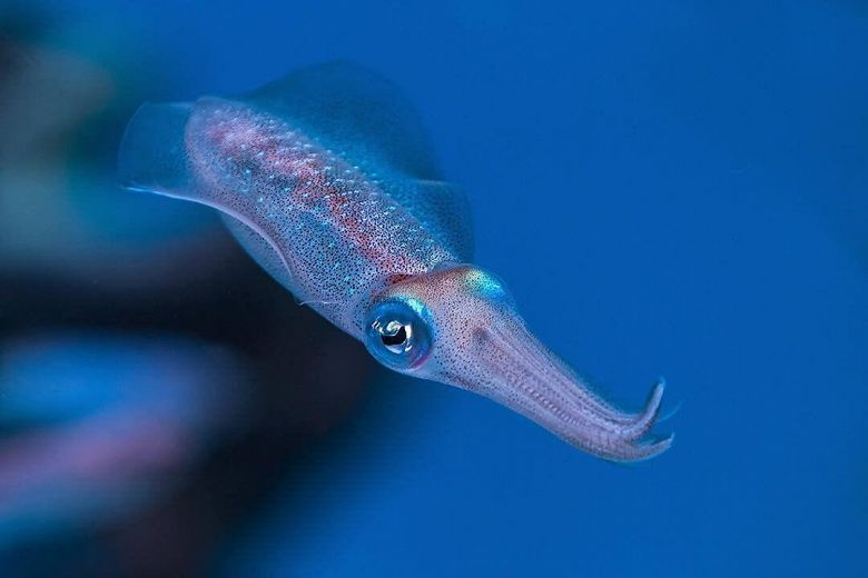 Bigfin Reef Squid - popup