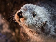 Charlie the sea otter is seen from the shoulders up facing to the left with his muzzle and whiskers reflecting light