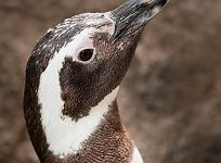 New Penguin Joins Aquarium's Colony