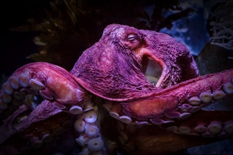 Giant Pacific octopus - lightbox