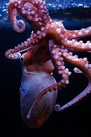 Pacific bigeye octopus links to New Octopus on View