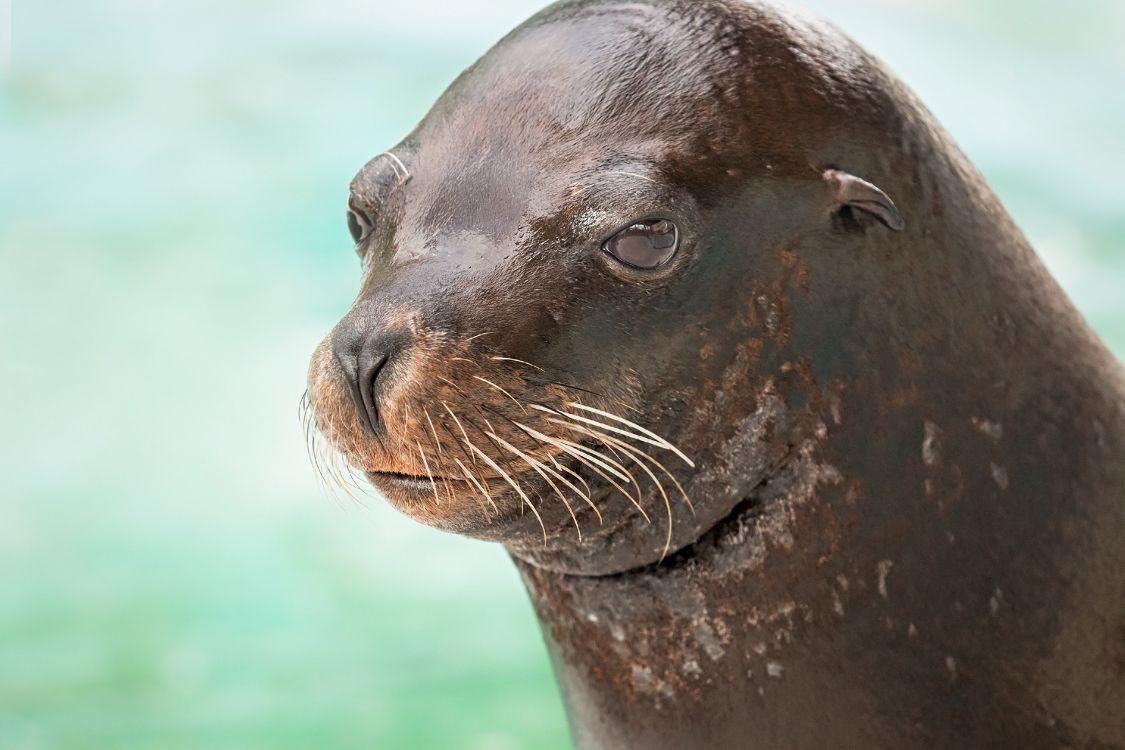Headshot of Chase the sea lion with light blue water background - lightbox