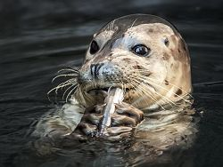 Kaya the harbor seal pup chewing on a fish grasped between her front flippers