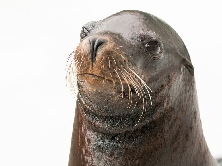 Headshot of Chase the sea lion against white background - popup