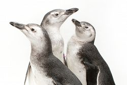 2018 penguin chicks in front of a white background, view from neck up