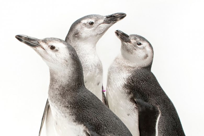 2018 penguin chicks in front of a white background, view from neck up - popup