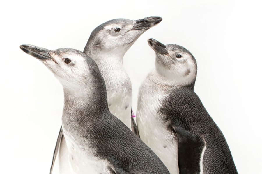 2018 penguin chicks in front of a white background, view from neck up - lightbox
